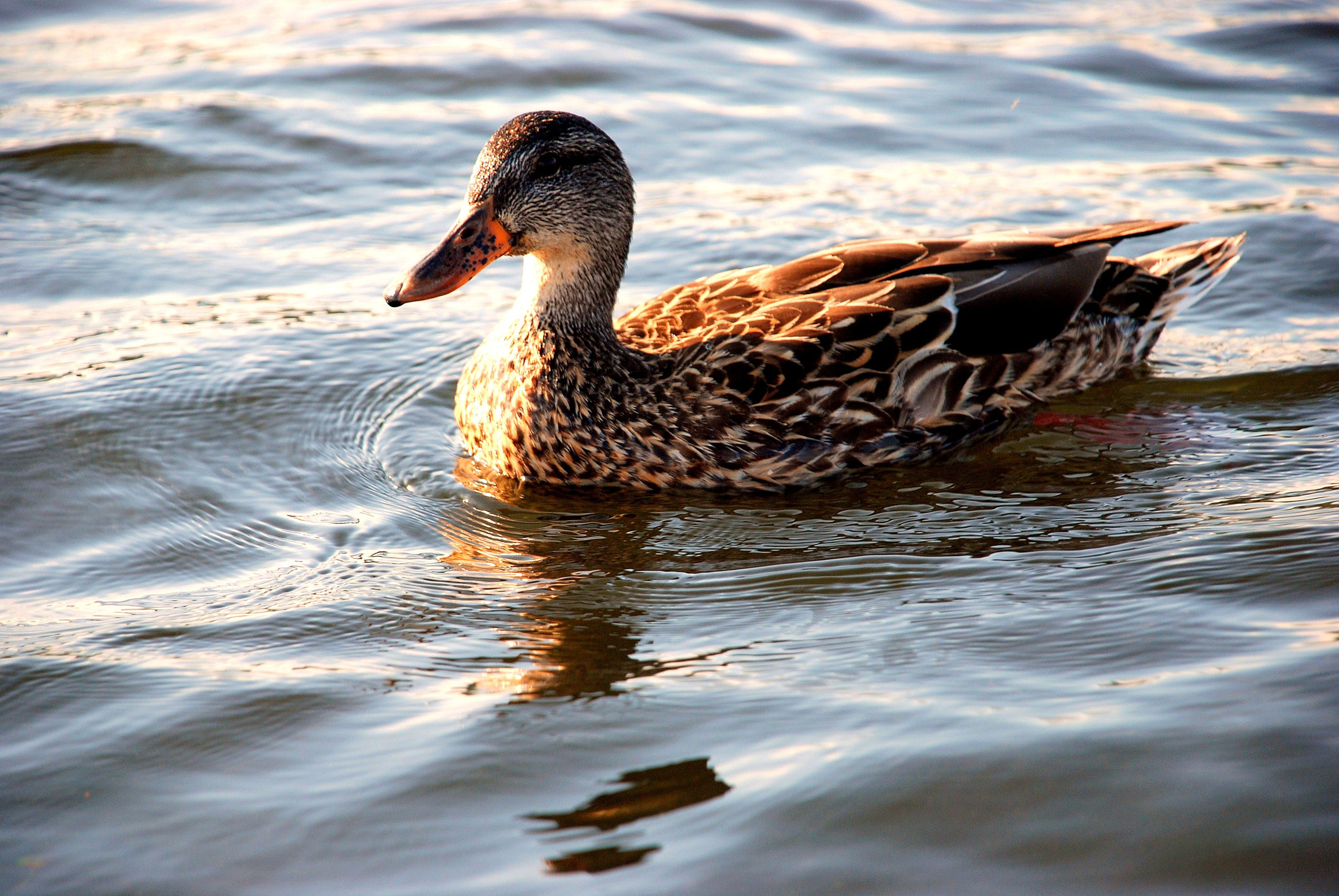 Photograph Duck on Water by Ashley Z on 500px