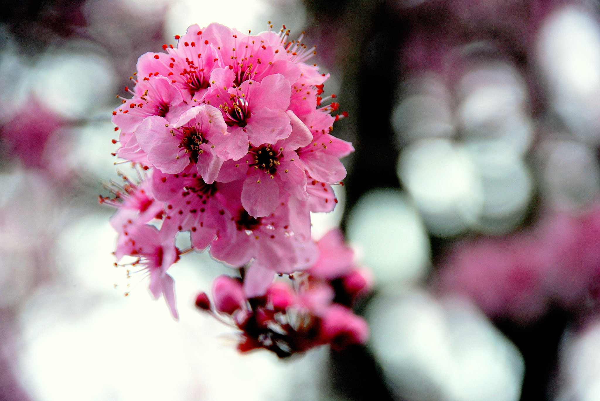Photograph Cherry Blossoms by Ashley Z on 500px