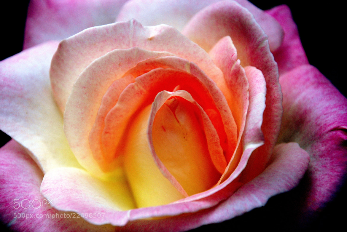 Photograph Colors of the Rose by Ashley Z on 500px