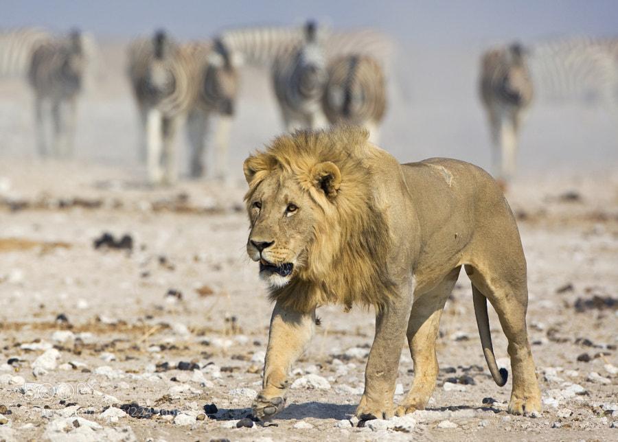 Male Lion approaching his pride at Gemsbokvlakte waterhole, Etosha NP, Namibia, 3rd September 2008  The zebra wait!