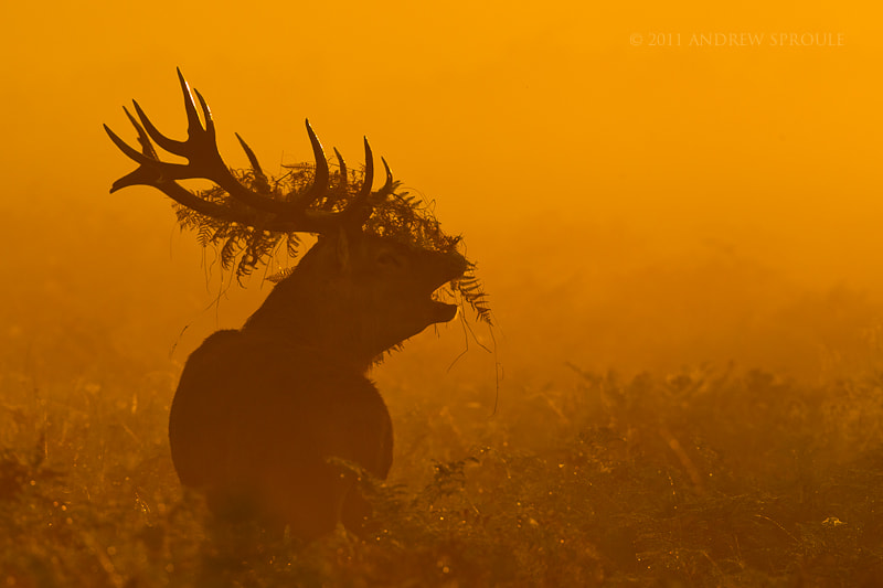 Photograph Red Deer stag at sunrise by Andrew Sproule on 500px