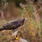 A young red tail hawk sitting on a rock watching his handlers.