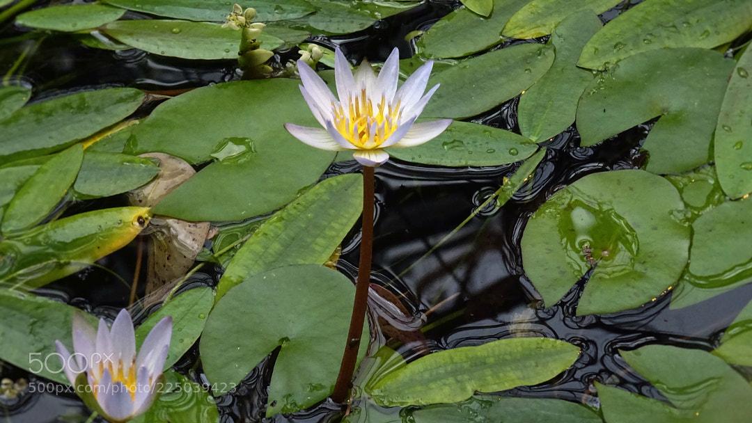 Water Lily @ Amsterdam Hortus Botanicus