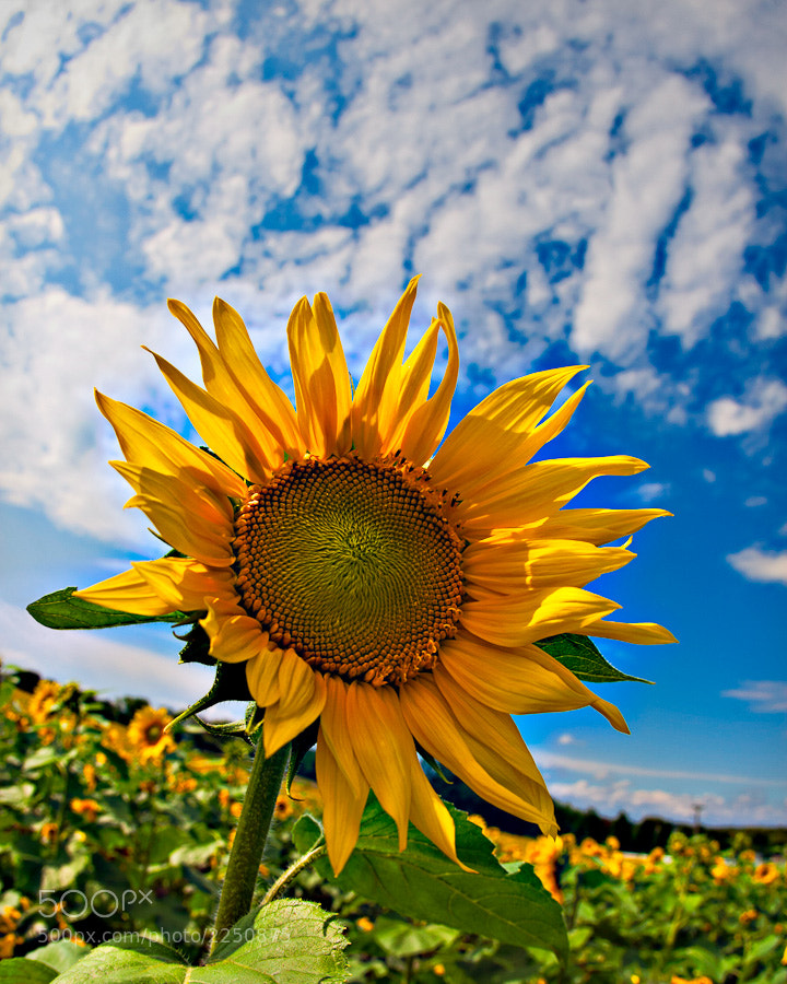 Shooting a sunflower field with the Canon 15mm fisheye.