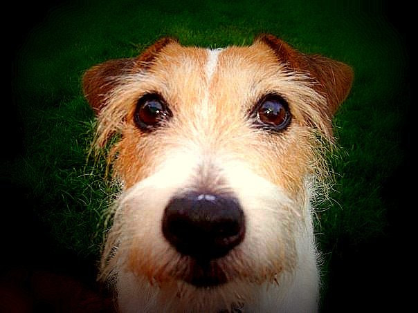 Photograph Jack Russell Terrier by Uta Abate on 500px