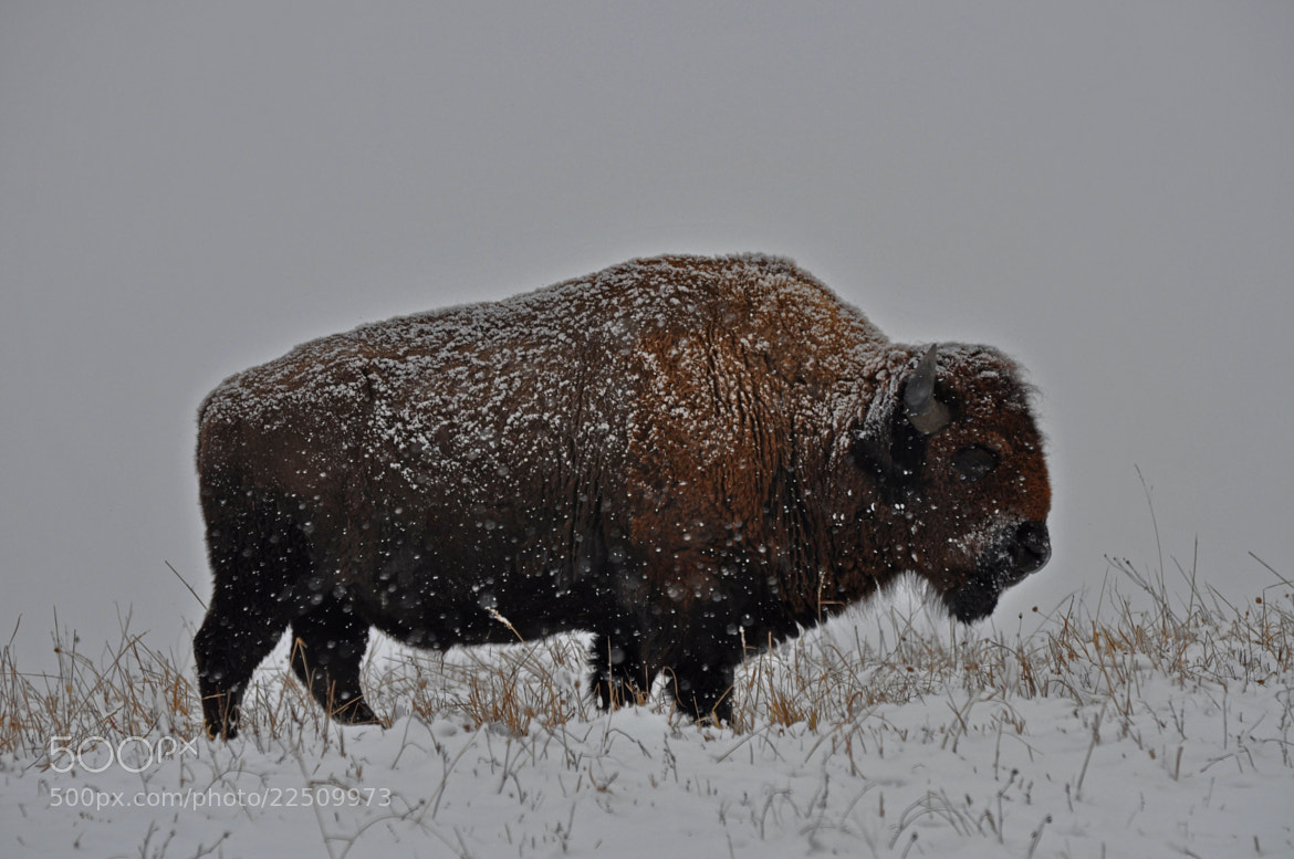 Photograph Classic Bison by Karen King on 500px