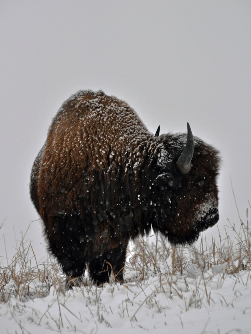 Photograph Winter Bison by Karen King on 500px