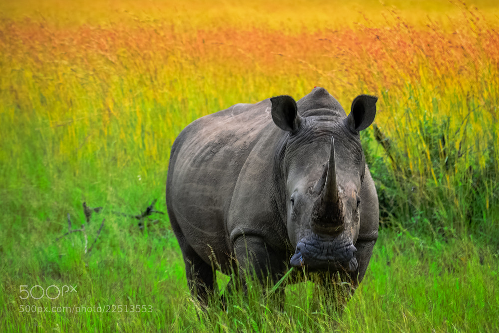 Photograph Rhino Head On by Ian Cook on 500px