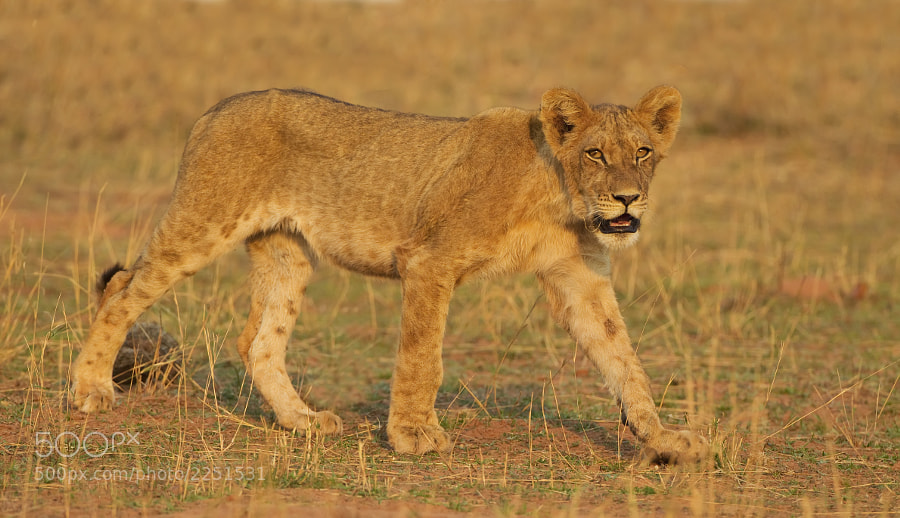 Fresh from the processing bench, a sub adult Lion wals along the shore of Lake Kariba, Matusadona NP, Zimbabwe, 21st September 2011.