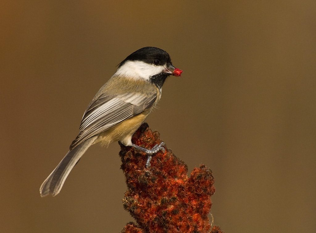 Photograph Chickadee by Joe Iocco on 500px