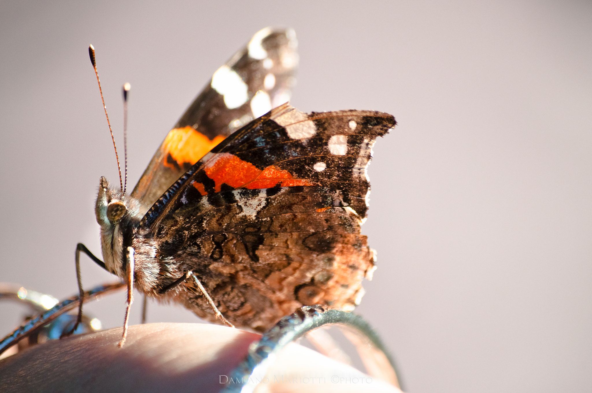 Photograph Tamed butterfly by Damiano Mariotti on 500px
