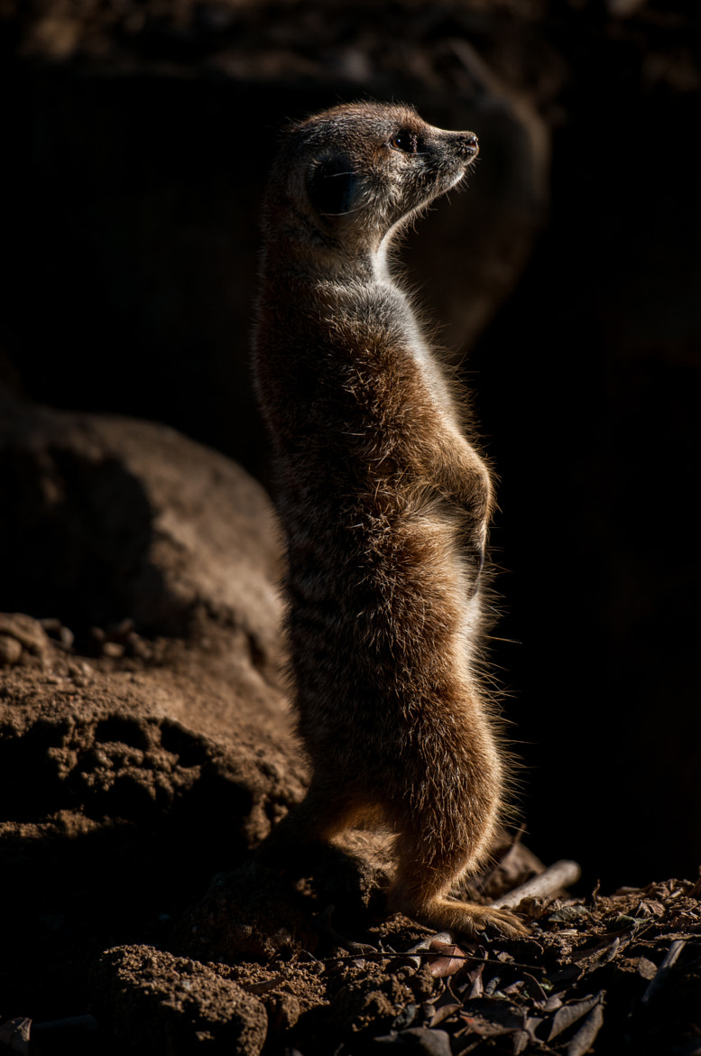 Photograph Meerkat by Frozen Canuck on 500px