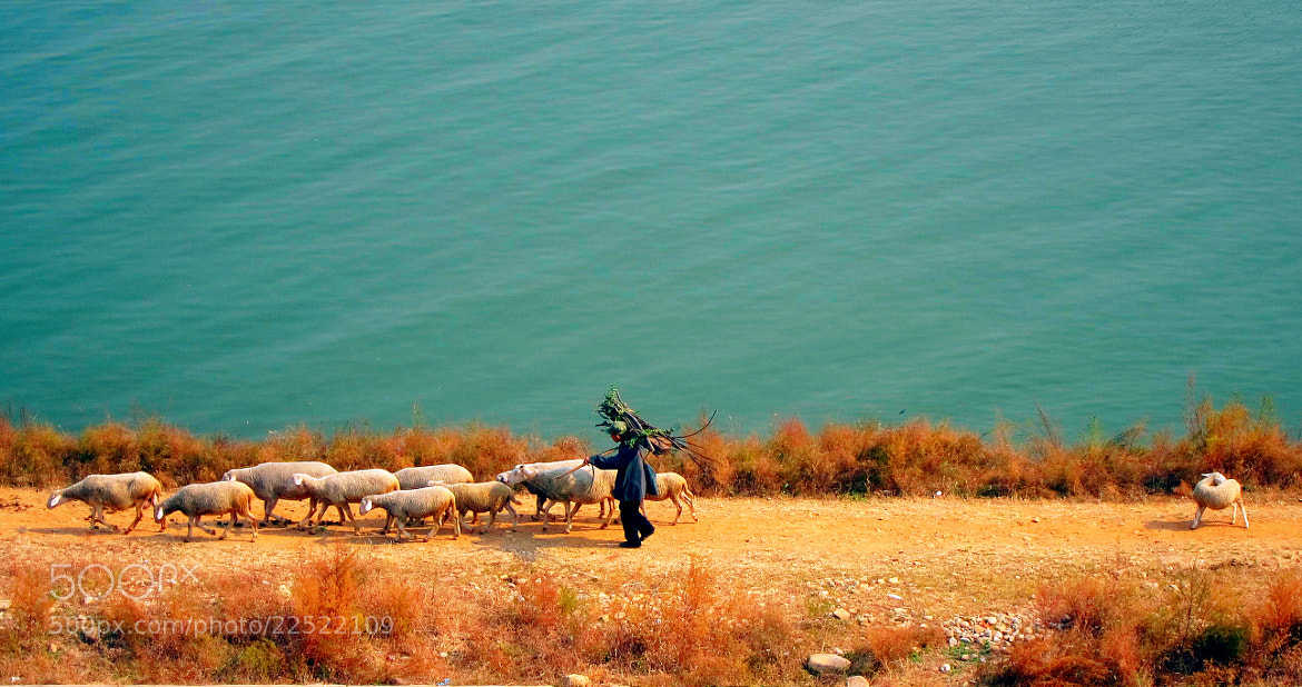 Photograph A little lamb falling behind the herd by Miao Fu on 500px