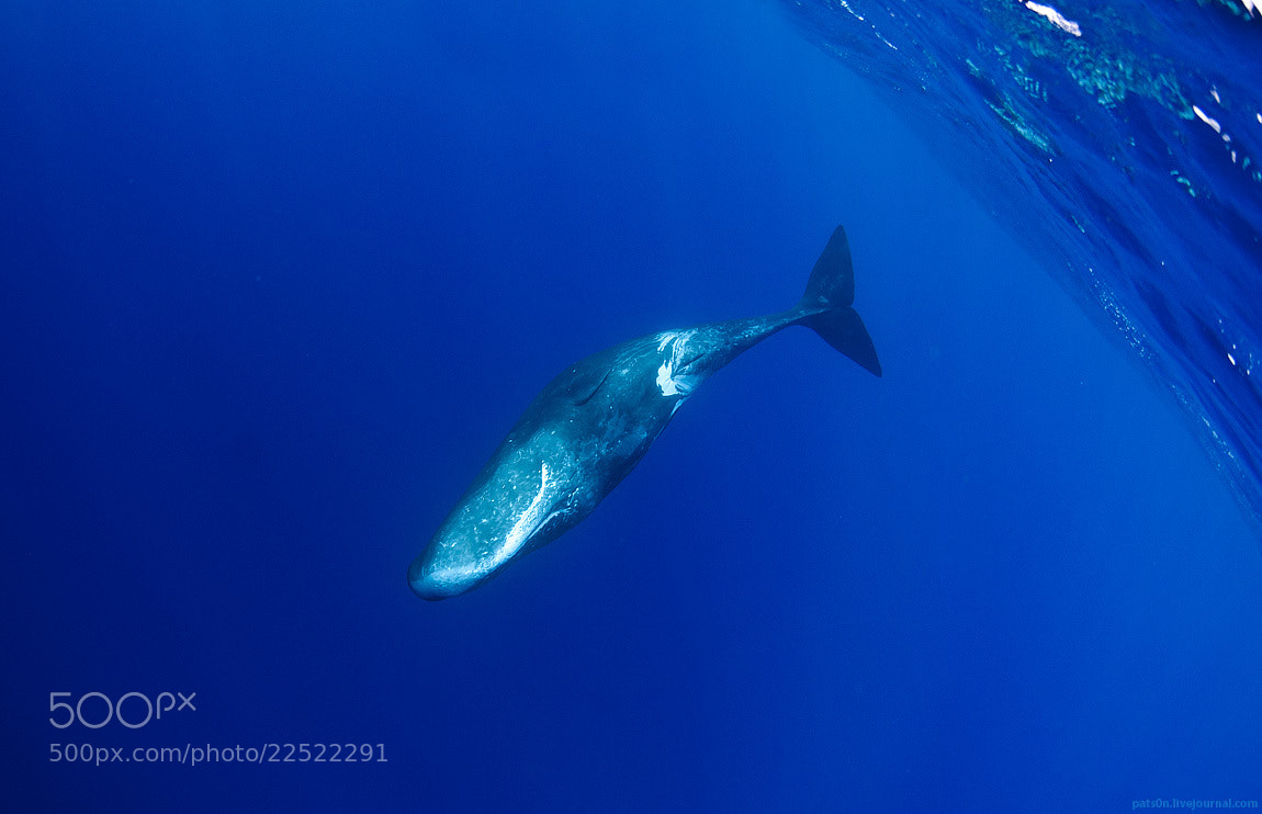 Photograph cachalote blue by Alexander Safonov on 500px