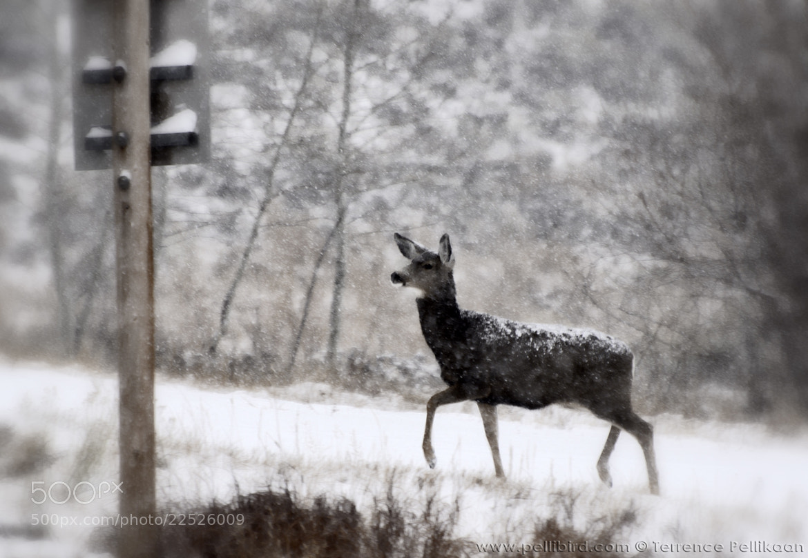 Photograph Doe crossing by Terrence Pellikaan on 500px
