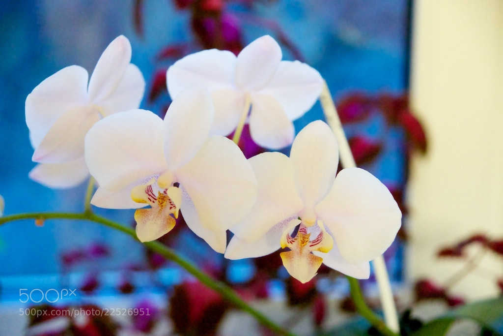 Photograph Orquídea en nuestra casa by Alexey Nakhimov on 500px