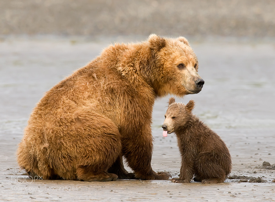 Sometimes learning can be tough.  This little grizzly cub had just been scolded by it's mother . Taken in Katmai, Alaska.