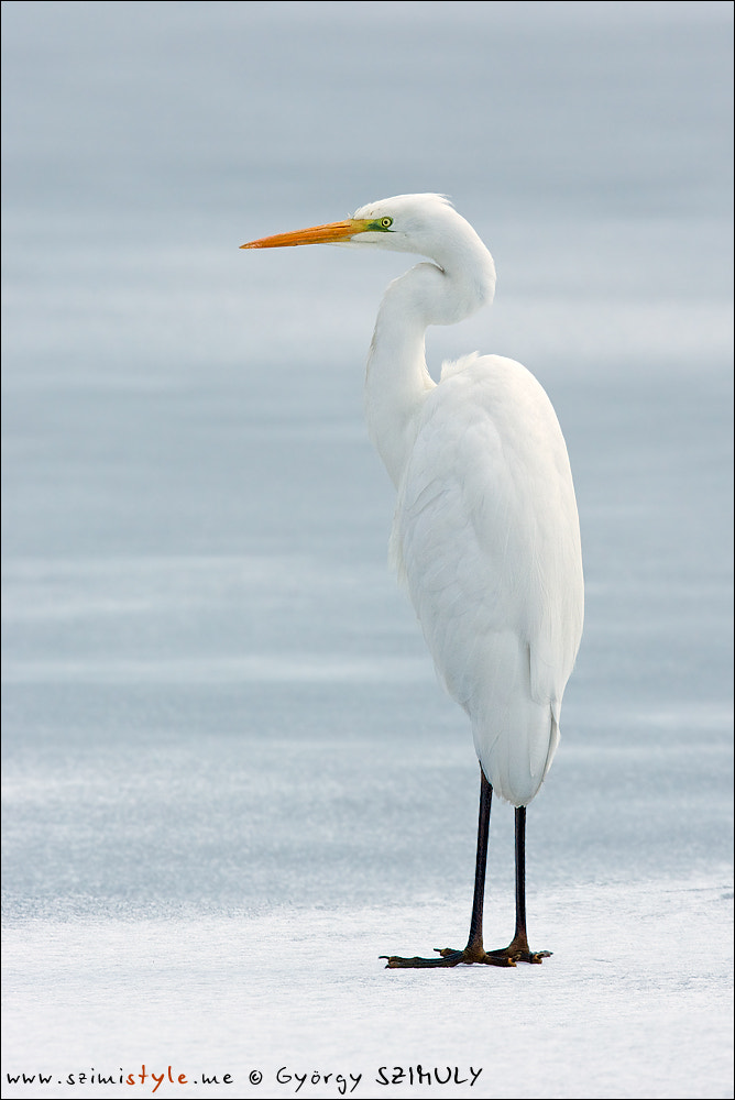 Photograph Great Egret (Ardea alba alba) by Gyorgy Szimuly on 500px
