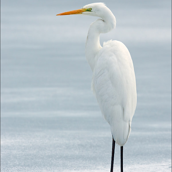 Great Egret (Ardea alba alba)