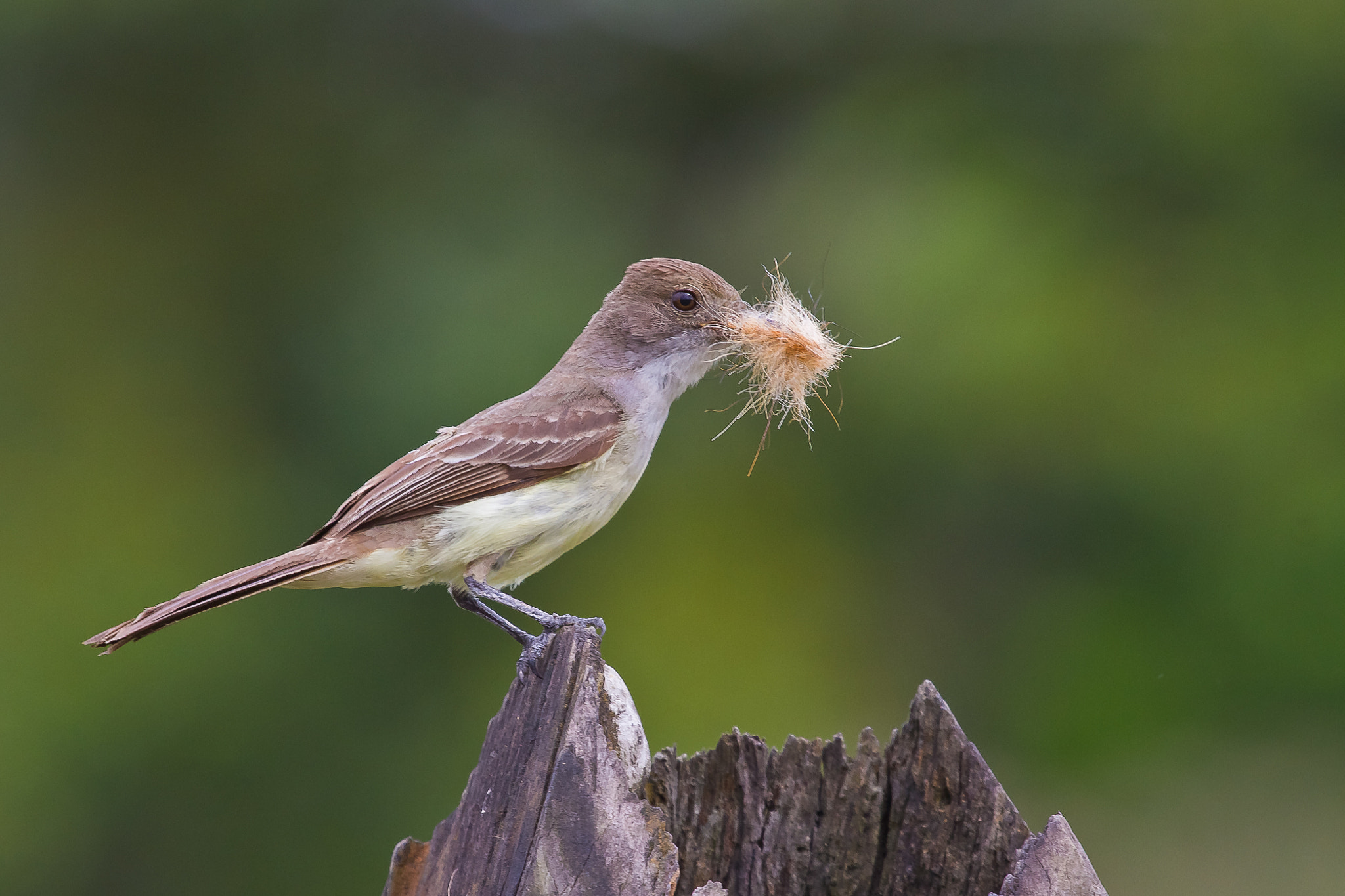 Photograph Brown-crested Flycatcher (Myiarchus tyrannulus) by Bertrando Campos on 500px