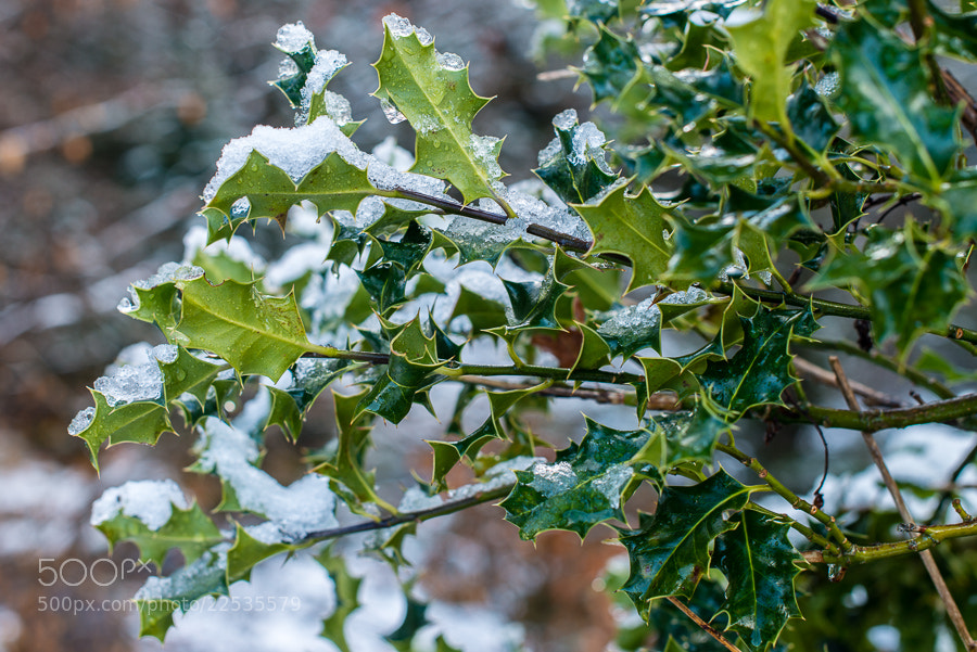 Photograph Icy holly by Realgar  on 500px