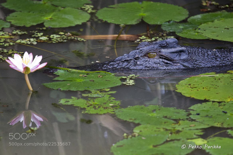 Photograph Crocodile at Yellow water by Pekko Parikka on 500px