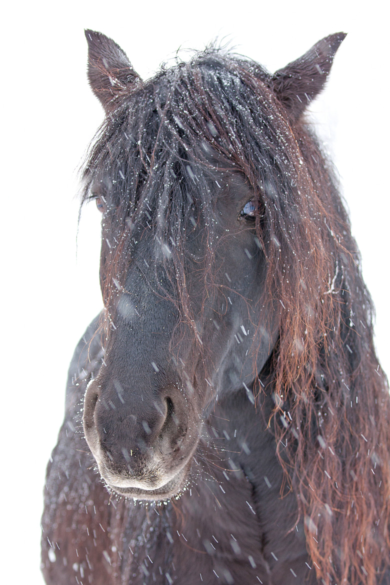 Photograph Horse in snow - Canadian Horse by Jim Cumming on 500px