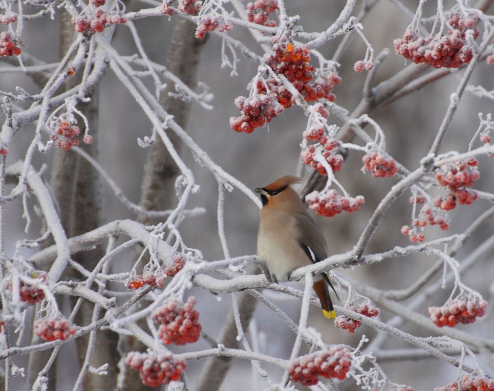 Photograph Waxwing  Christmas by Walker  on 500px