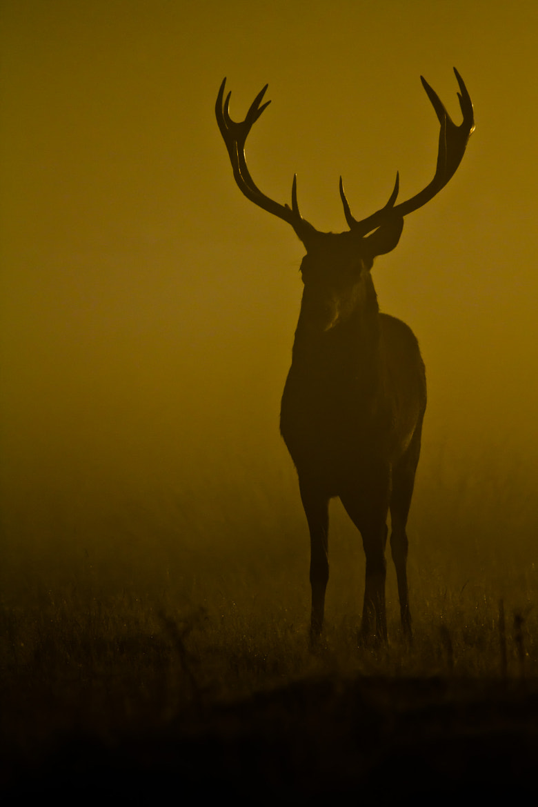 Photograph Misty Red Deer by Steve Bryson on 500px