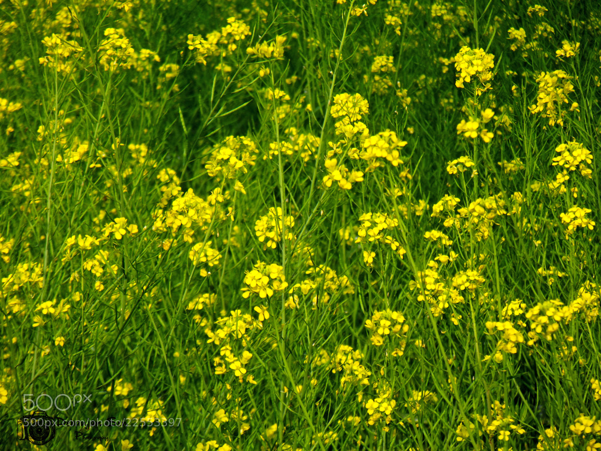 Photograph Mustard Flowers by Debanjan Sen on 500px