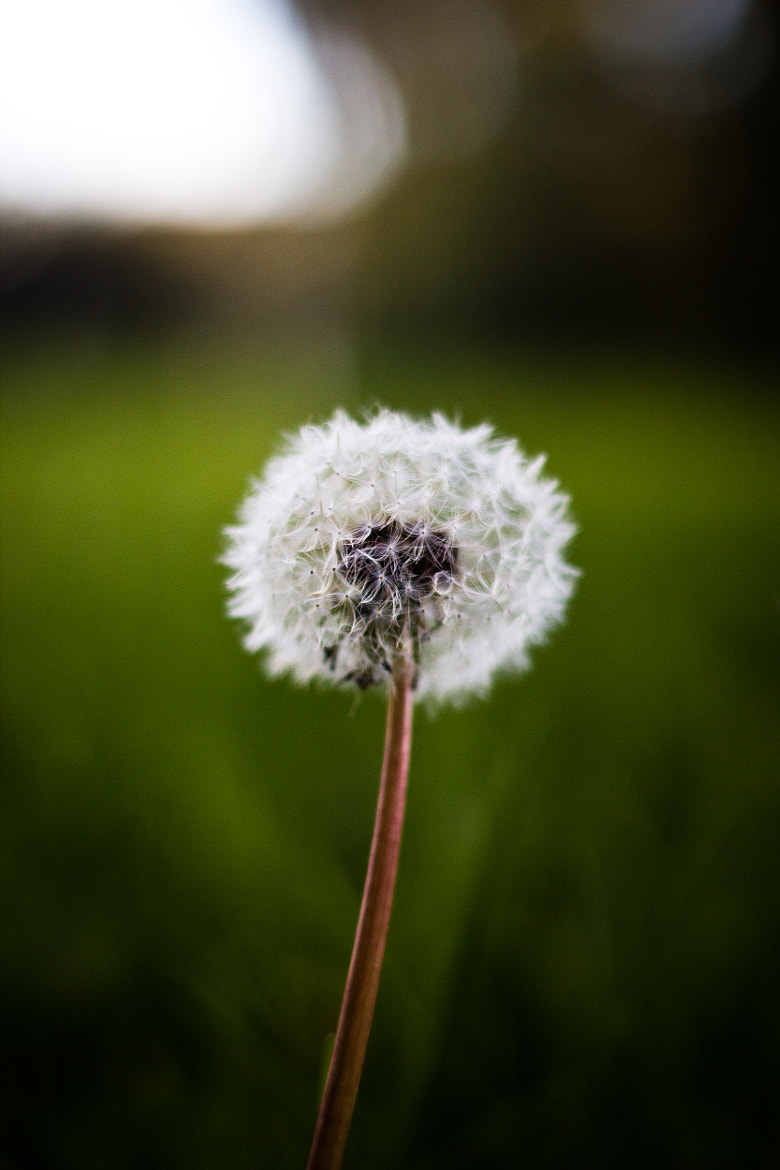 Photograph Dandelion by Robin Dahling on 500px