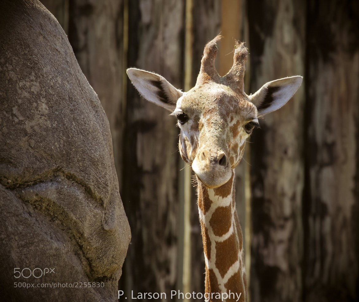 Photograph Giraffe Stare by P. Larson Photography on 500px
