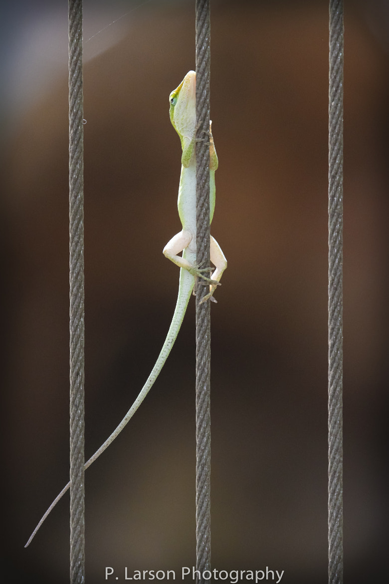Photograph Lizard on Cable by P. Larson  on 500px