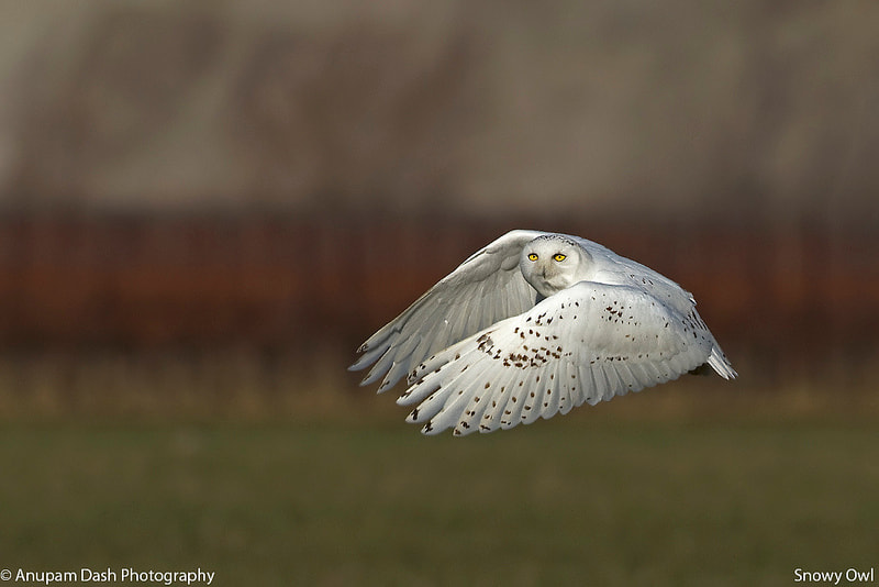 Photograph Snowy Owl - Male!! by Anupam Dash on 500px