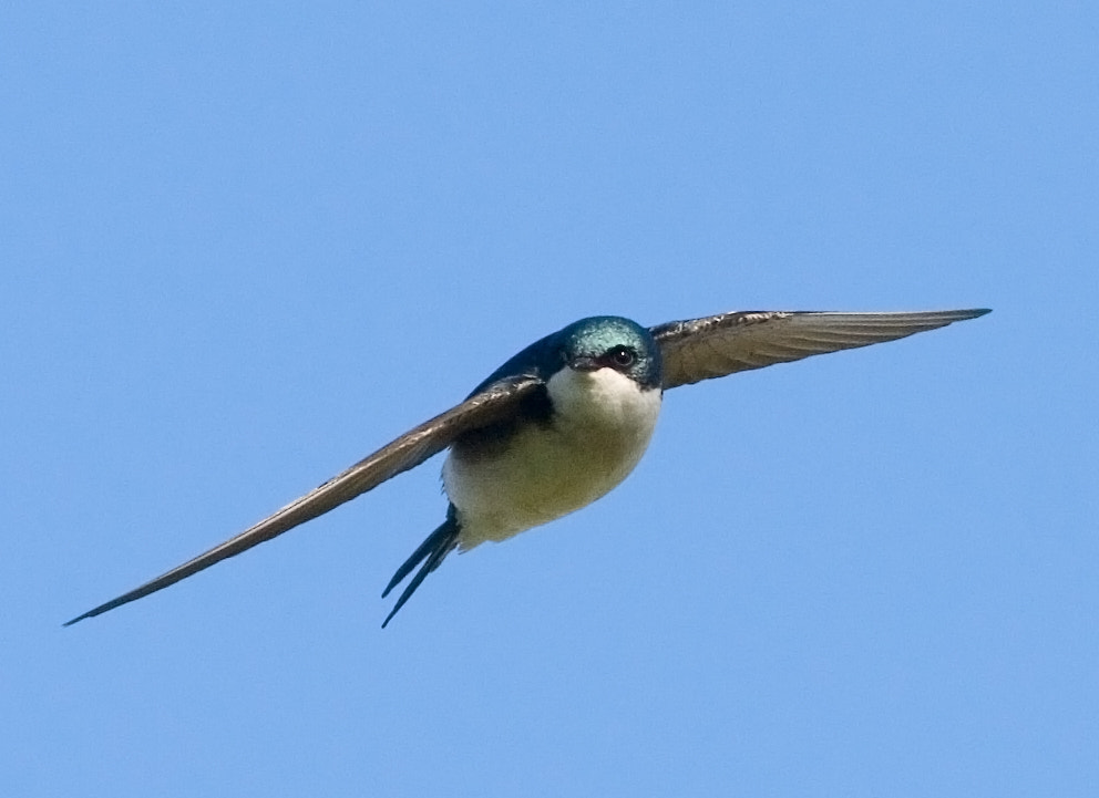 Photograph Tree Swallow by Phil Armishaw on 500px