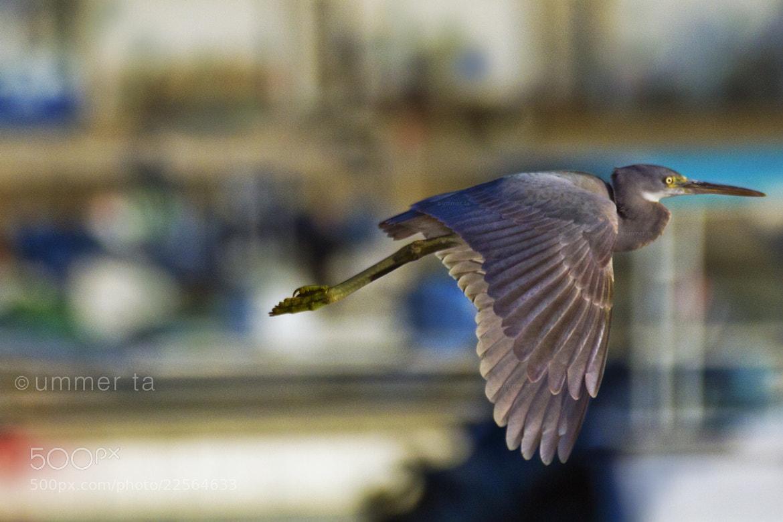 Photograph bird fly by Artist Ummer Ta  on 500px
