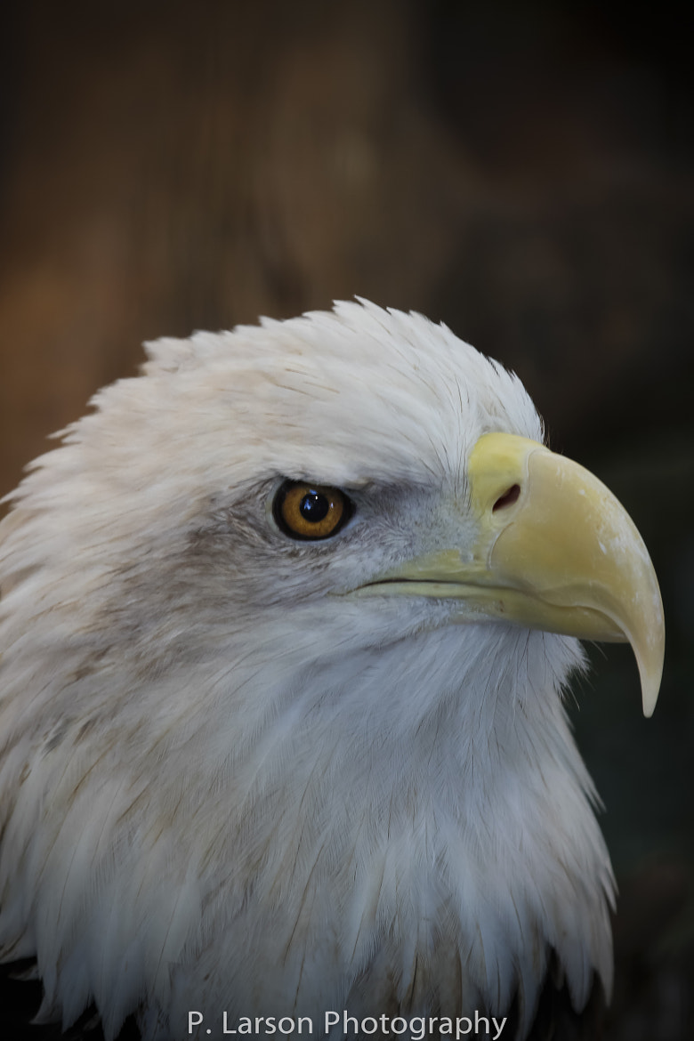 Photograph Bald Eagle_010 by P. Larson  on 500px