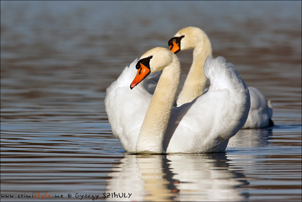 Photograph Mute Swan (Cygnus olor) by Gyorgy Szimuly on 500px