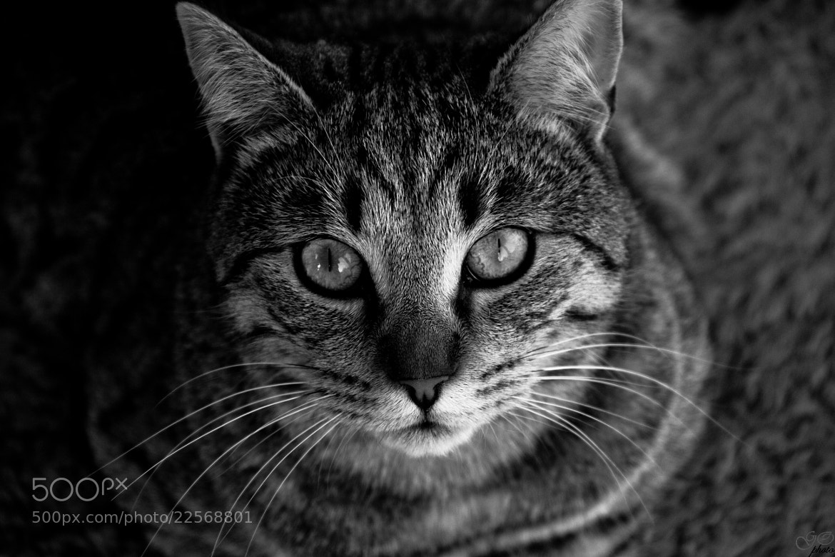 Photograph The Cat #2 by Jernej Kovac on 500px