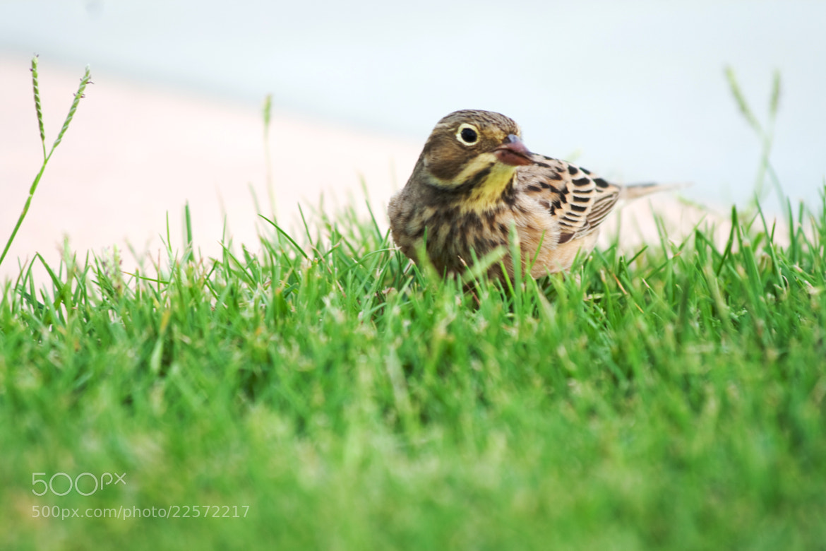 Photograph Sparrow by Irfan Fazili on 500px