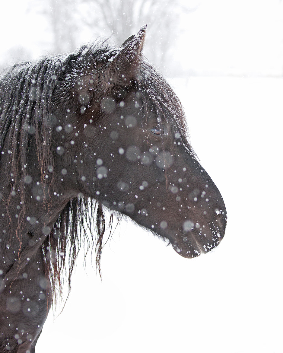 Photograph Polka-dotted horse - Canadian Horse by Jim Cumming on 500px