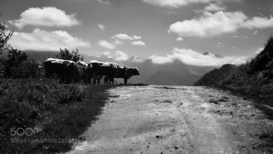500px PlanPlume Photo - vaches