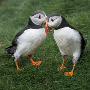 Suspicious puffins - Faroe Islands