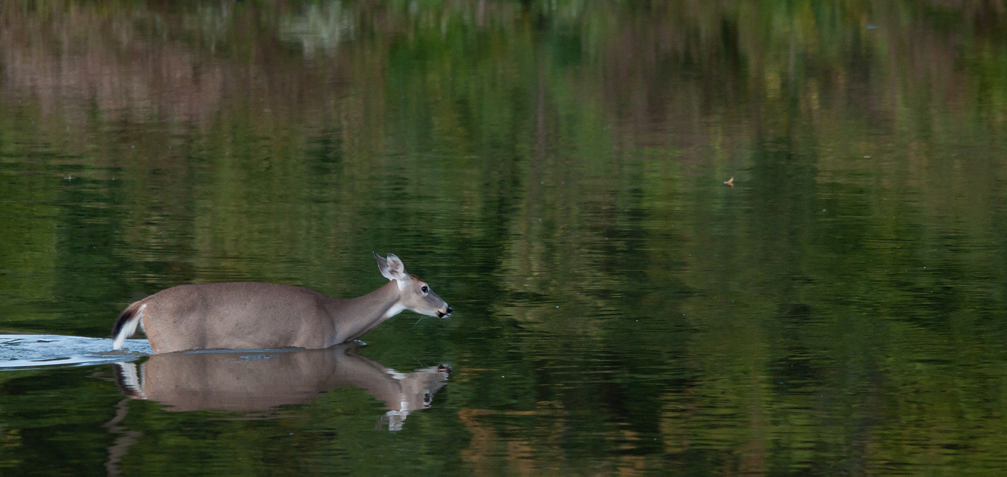 Photograph Whitetail in Water by Nick Chill on 500px