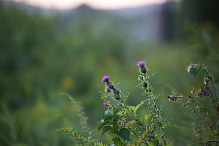 Thistle by Mark Becwar on 500px.com