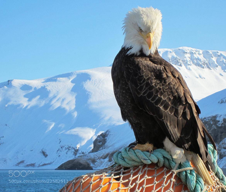 Photograph Bald Eagle  Aleutian Islands, Alaska by Jack Molan on 500px