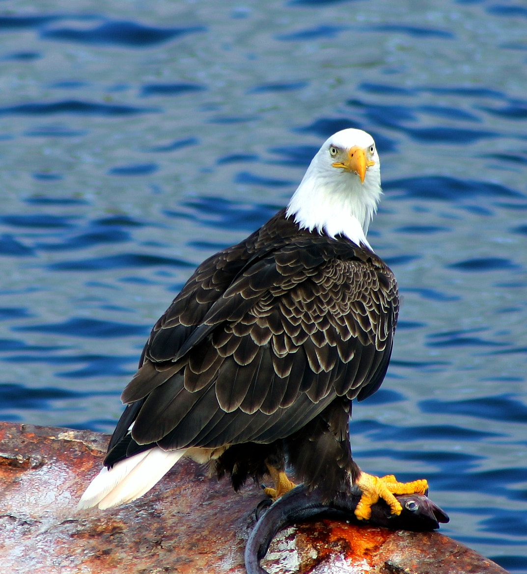 Photograph Bald Eagle and fish by Jack Molan on 500px