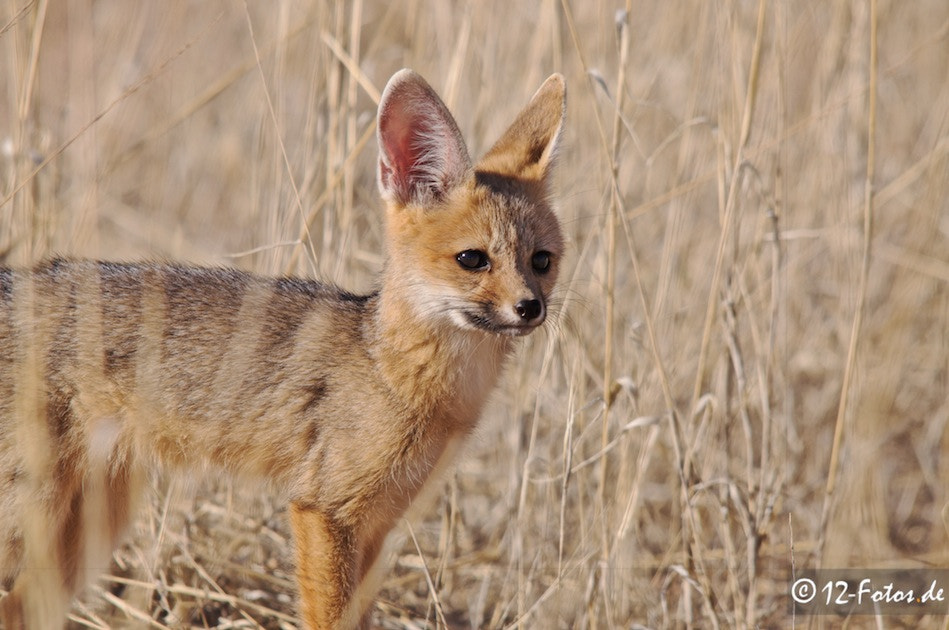 Photograph Young cape fox by Uwe Fischer on 500px