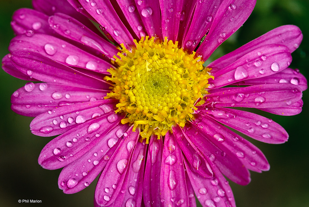 Photograph chrysanthemum by Phil Marion on 500px