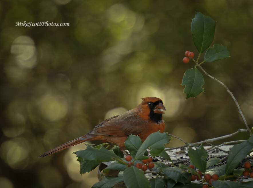 Photograph Male Cardinal in holly by MikeScottPhotos  on 500px
